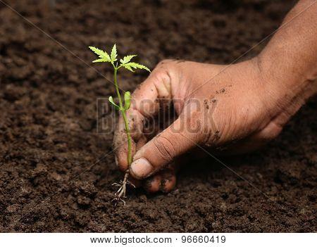 Planting Neem Plant