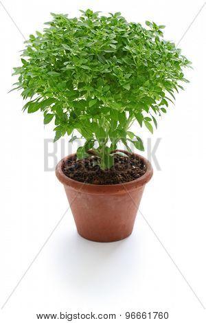 bush basil, greek basil isolated on white background