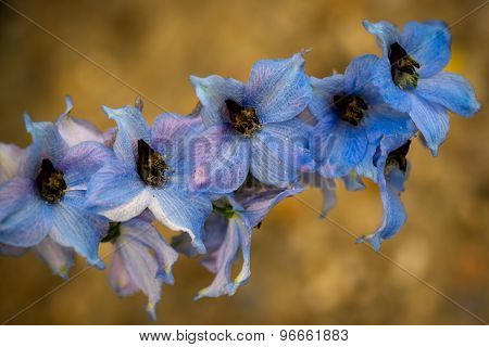Candle Larkspur (delphinium Elatum) In The Garden