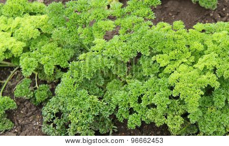 Fresh Green Parsley.