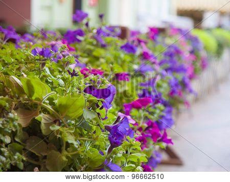 Blooming Petunia.