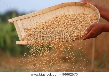 Processing Golden Paddy Seeds