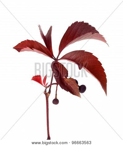 Autumn Grapes Leaves With Berry