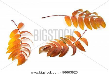 Three Autumn Rowan Leafs On White Background