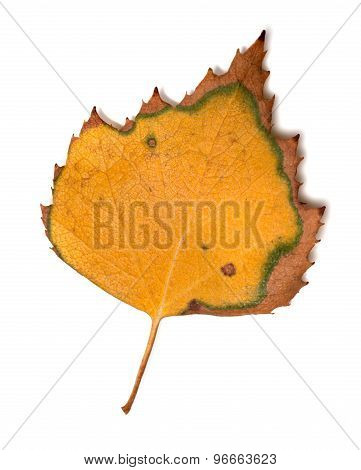 Yellowed Leaf Of Birch On White Background