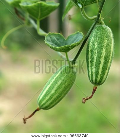 Green Pointed Gourd