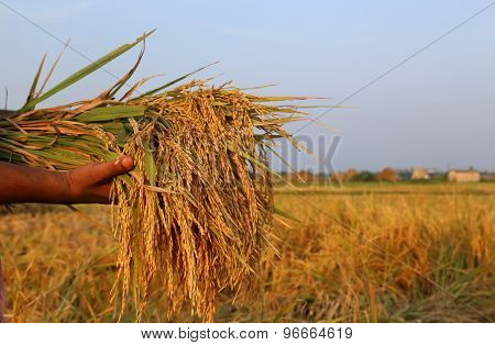Hand Holding A Bunch Of Newly Harvested Paddy
