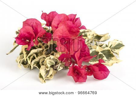 Red Bougainvillea Flowers With Variegated Green And White Leaves