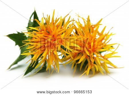 Yellow Safflower