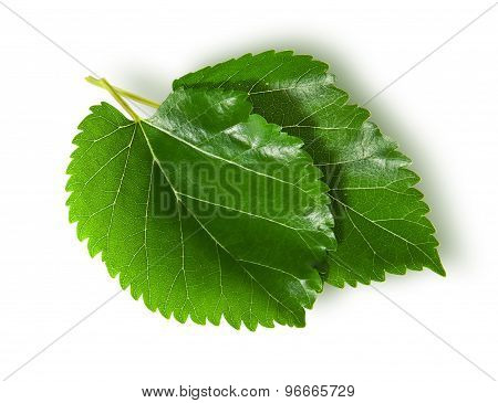 Two Green Leaves Mulberry