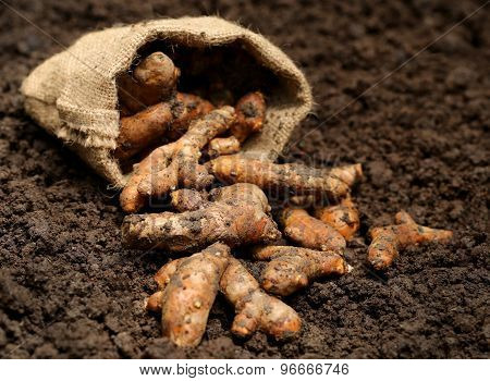 Newly Harvested Turmeric In Sack