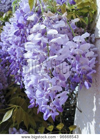 A blue flowering climbing plant in spring