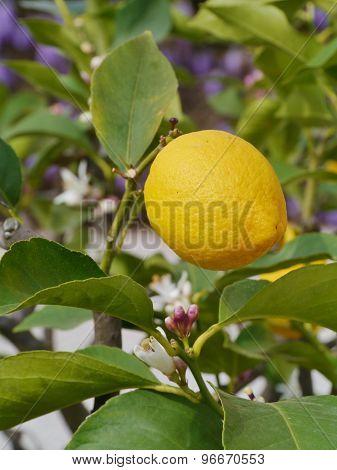 A lemon in a lemon tree