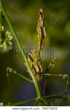 Praying Mantis on the green leaf