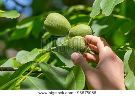 tree fruit