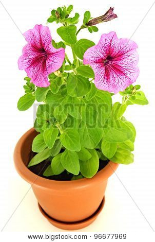 Pink petunia in flowerpot