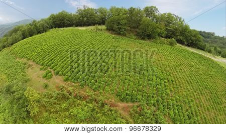Tea field in mountains with forest at summer day. Aerial view. Photo with noise from action camera