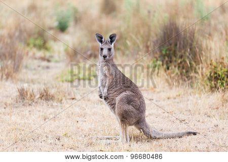 Kangaroo, Australia
