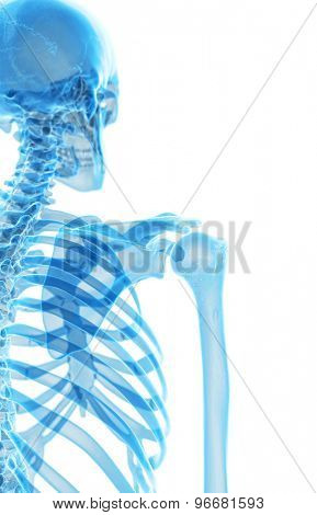 medically accurate illustration of the skeletal shoulder
