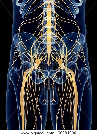 medically accurate illustration of the sciatic nerve