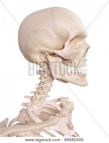 medically accurate illustration of the cervical spine and skull