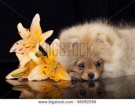 Spitz Pomeranian  and lily flower