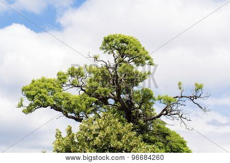 Acacia Crown