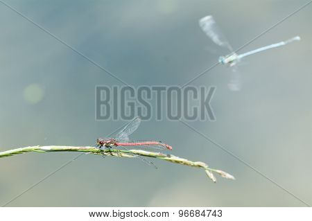 Red Dragonfly Sitting On A Blade Of Grass