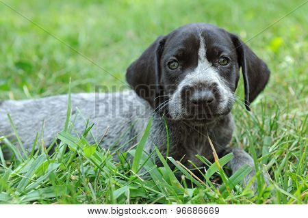 German Short Haired Pointer puppy laying on the grass