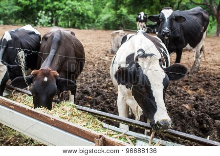 Herd Of Milk Cow On The Farm