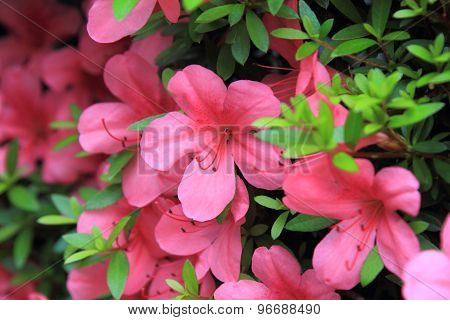 Pelargonium geranium group bright cerise pink flowers