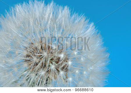 Australian Dandelion