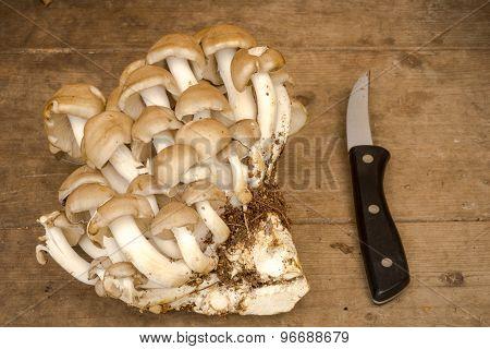 Oyster Mushroom - Pleurotus Cornucopiae, On A Wooden Background
