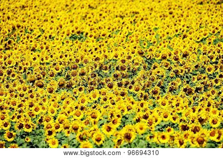 Sunflower Field In July