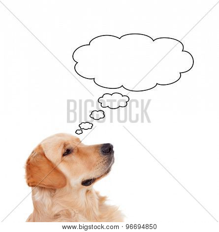 Pensive Golden Retriever dog breed thinking something isolated on a white background