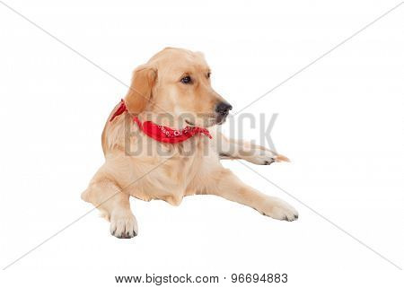 Beautiful Golden Retriever dog breed in isolated studio on white background
