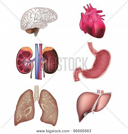 Organs vector illustration
