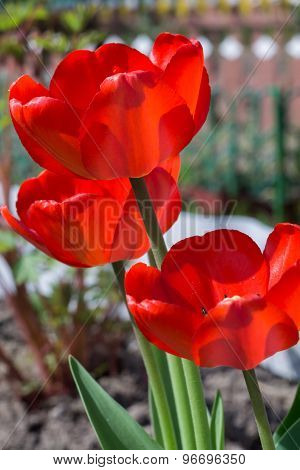 Red Tulip In The Garden