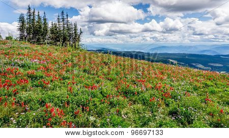 Colorful Alpine Flowers At Tod Mountain