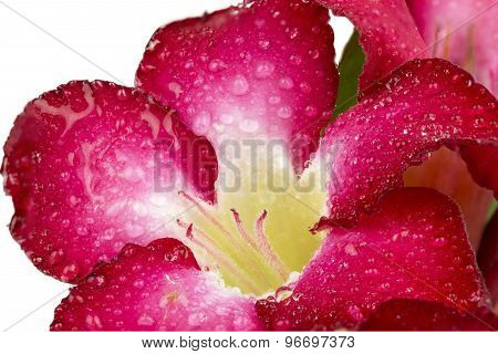 Close Up Red Azalea Flowers