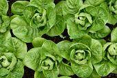 stock photo of gem  - Little Gem Romaine Lettuce in a garden - JPG