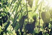 stock photo of common  - Urtica dioica often called common nettle or stinging nettle (although not all plants of this species sting) is a herbaceous perennial flowering plant native to Europe Asia northern Africa and western North America. ** Note: Shallow depth of field - JPG