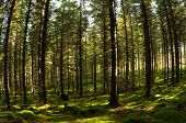 stock photo of penetration  - Fir tree forest penetrated with sunbeams Puumala Finland - JPG