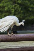 foto of na  - white peacock on a wood  - JPG