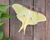 stock photo of moth  - Luna moth Actias luna on a wood background - JPG