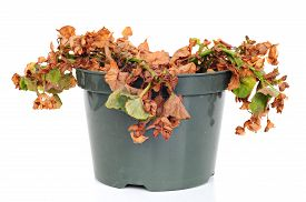 foto of dead plant  - Dead and shriveled plant in a plastic pot white background - JPG