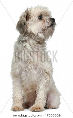 Lowchen or Petit Chien Lion, 3 years old, sitting in front of white background