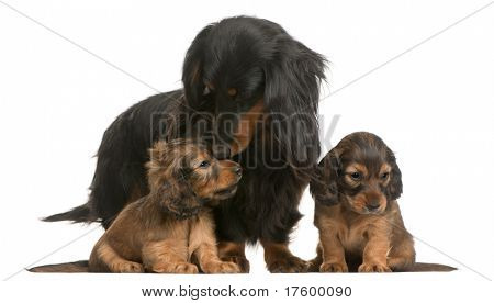 Mother Dachshund, 4 years old, and her puppies, 5 weeks old, in front of white background
