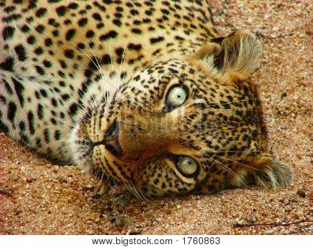 Leopard Seseka