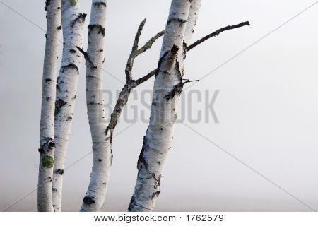 Birch Trees In The Fog